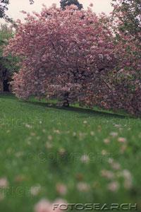 cerise-fleur-arbre-ks130145.jpg