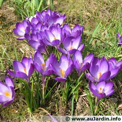 crocus-violet.jpg