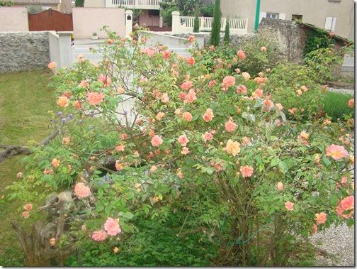 roses 28 avril 005