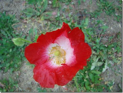 fleurs jardin 011